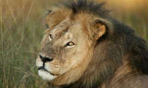 Final-pictures-of-Cecil-the-lion-emerge-as-the-US-considers-extraditing-dentist-killer-595187